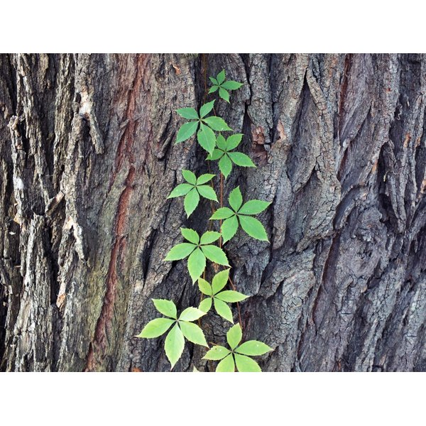 Poison ivy growing up the side of a tree.