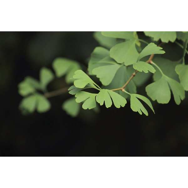 The leaves of a gingko biloba tree growing on a branch.