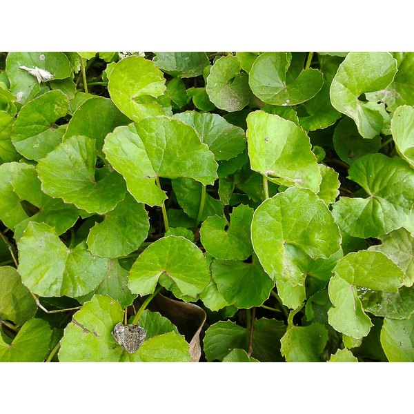 Gotu kola growing in a garden.
