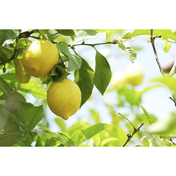 Lemons grow from a tree branch.