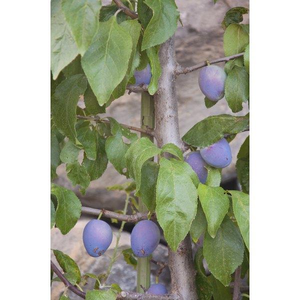 Prunes growing on a tree.