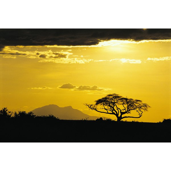 Acacia fiber comes from the acacia tree in Africa.