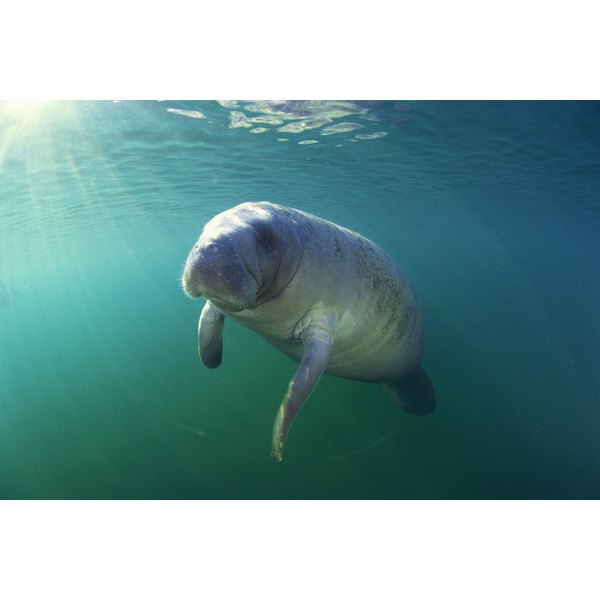 Manatees are common sightings when snorkeling in Clearwater, Florida.