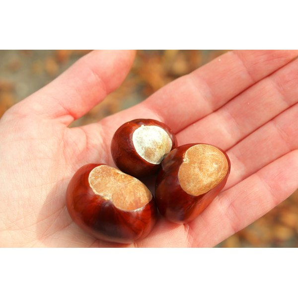 A hand is holding horse chestnuts.