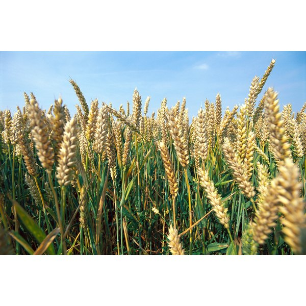 Wheat is the most abundant source of gluten.