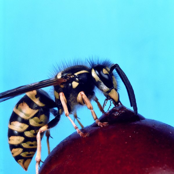 The yellow jacket's bright coloring serves as a warning.