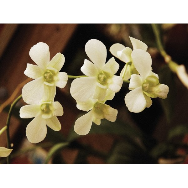 The meaning of a white orchid our everyday life white orchids flowers mightylinksfo