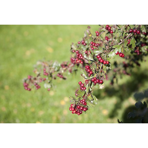 Hawthorn berries growing on a tree branch.