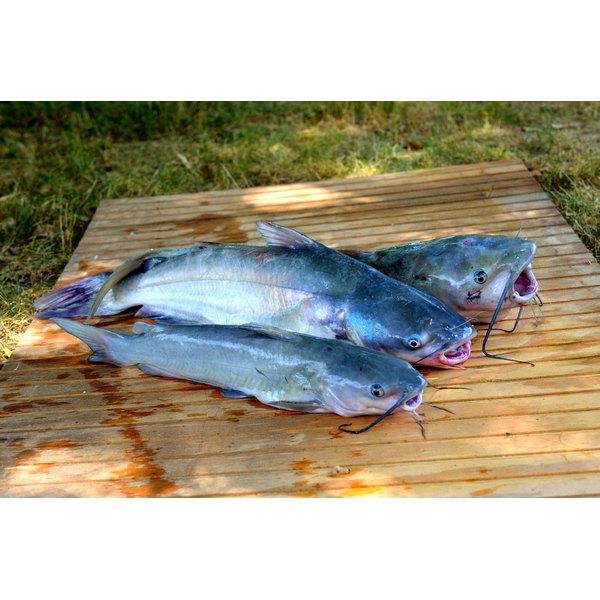 Freshly caught catfish.