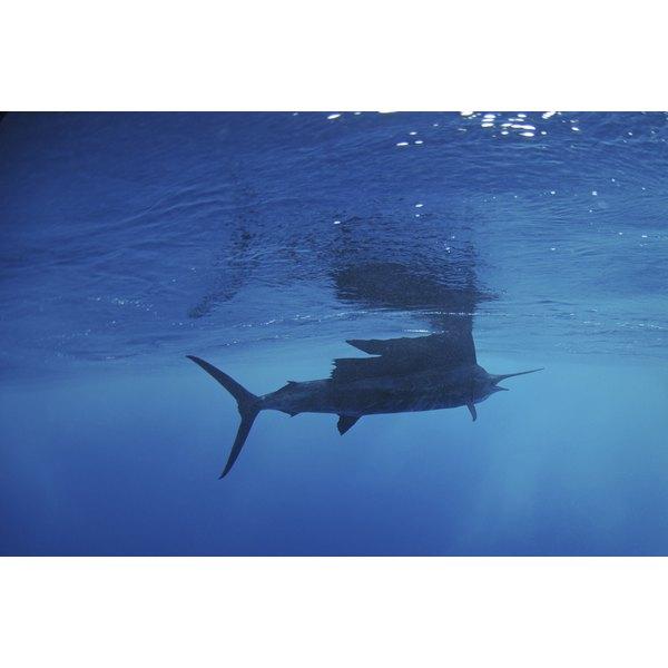A sailfish swimming.