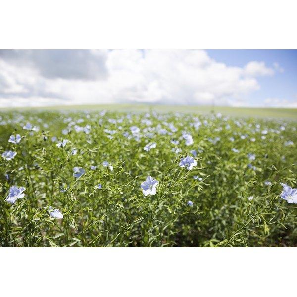 A field of flax plants.