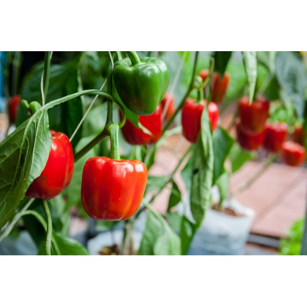 Red bell peppers growing in a garden.
