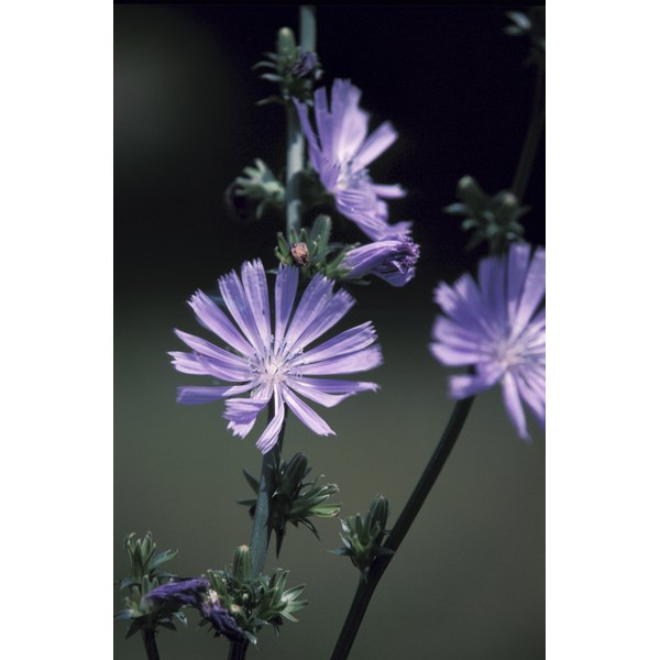 Chicory flowers, leaves and roots are used for food, beverages and medicine around the world.