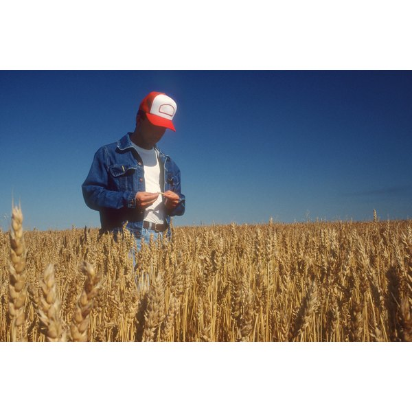 A farmer looks at his wheat field. Wheat contain gluten.