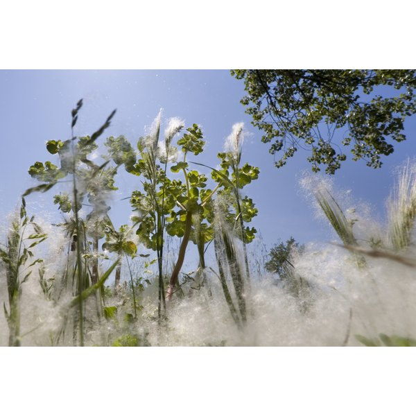 A cottonwood is a pollinating tree that causes allergies in early spring.