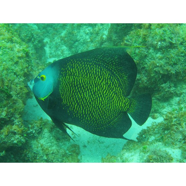 A large angelfish swimming in the ocean.