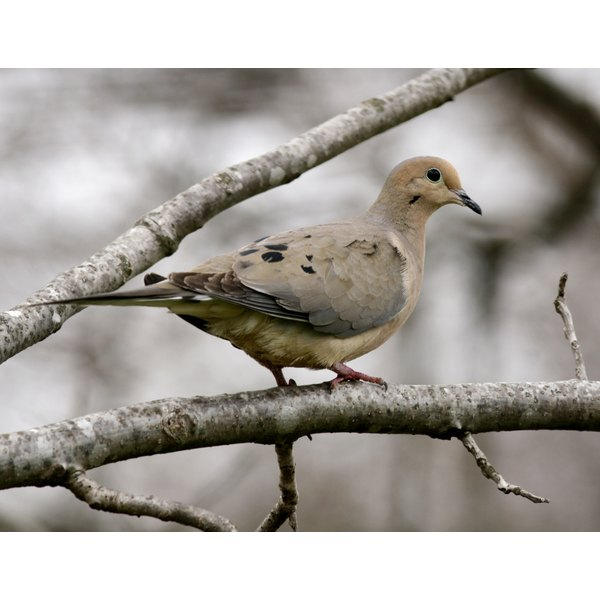 Always check local hunting regulations before killing a dove.