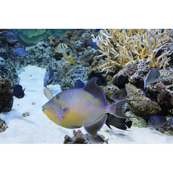 Triggerfish are flat and colorful fish that live near coral reefs.