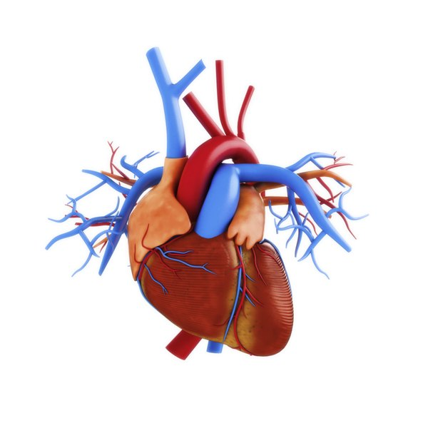 The cells of the heart contain enzymes that are released when the cells die or are damaged.