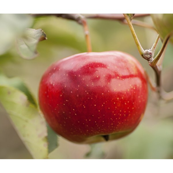 A close-up of a red apple growing on a branch.
