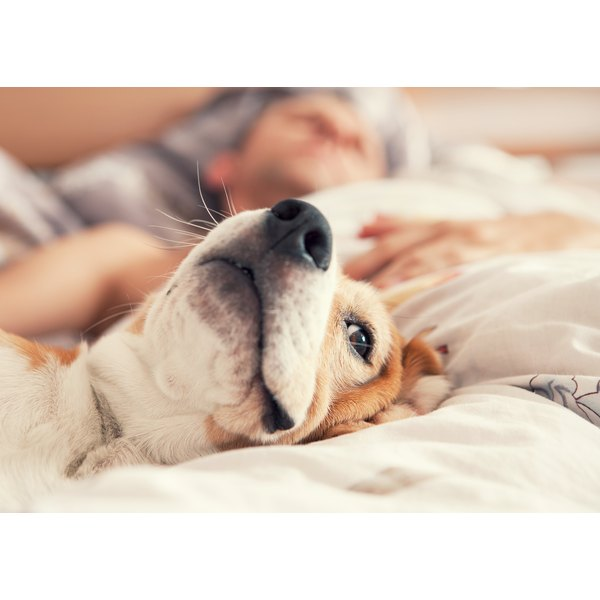 Close-up of a dog's face as it sleeps on the bed with its owner in the background, out of focus.