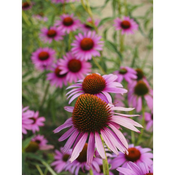 Echinacea helps battle bacteria that cause boils.