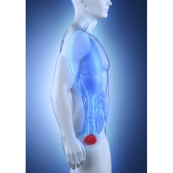 A side view 3D image of a male, showing the bladder in red.