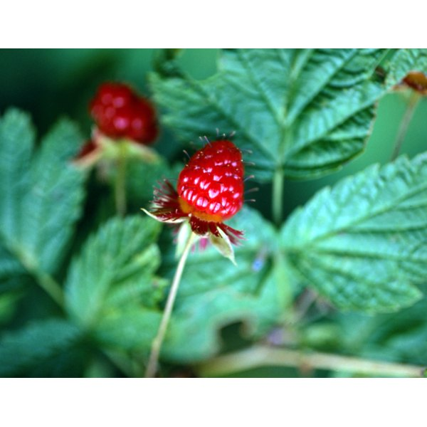 Raspberry leaves are used traditionally to regulate painful menstruation, strengthen pregnant women and support childbirth.