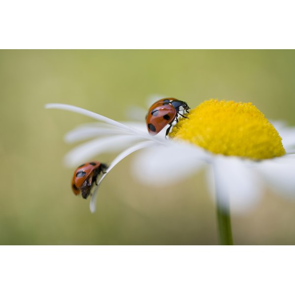 Ladybugs on a flower petal.