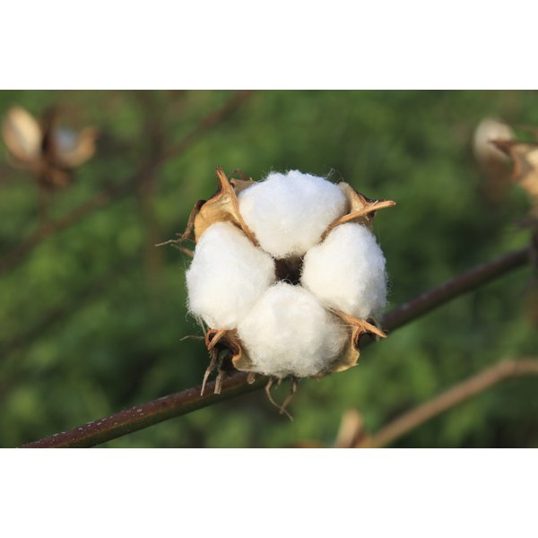 Oil is derived from the cottonseed kernel
