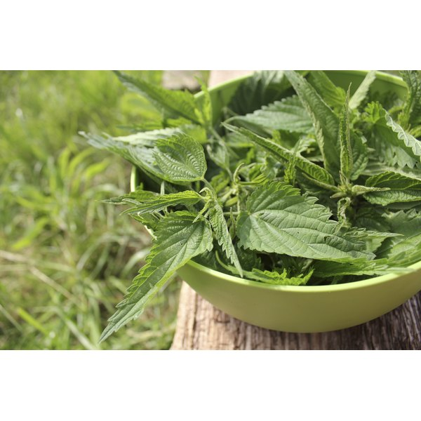 Freshly picked stinging nettle leaves in a bowl.