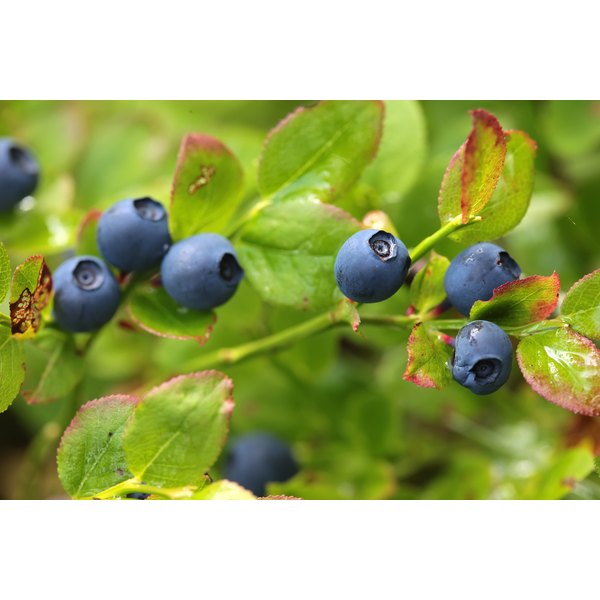 Blueberries growing in the wild.