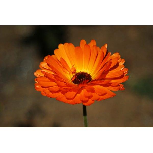 A calendula flower.