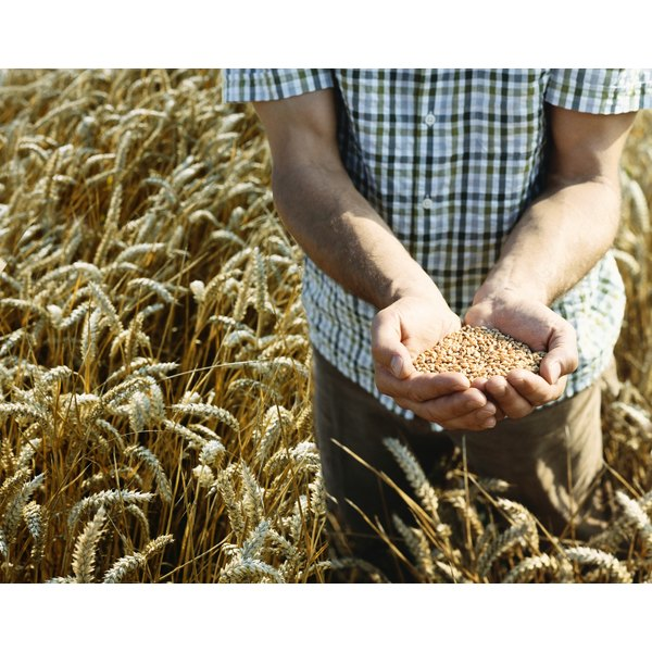 Close-up of man holding handful of wheat in field.
