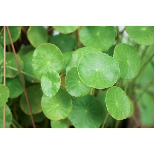 A close-up of circular leaves on the gotu kola plant.