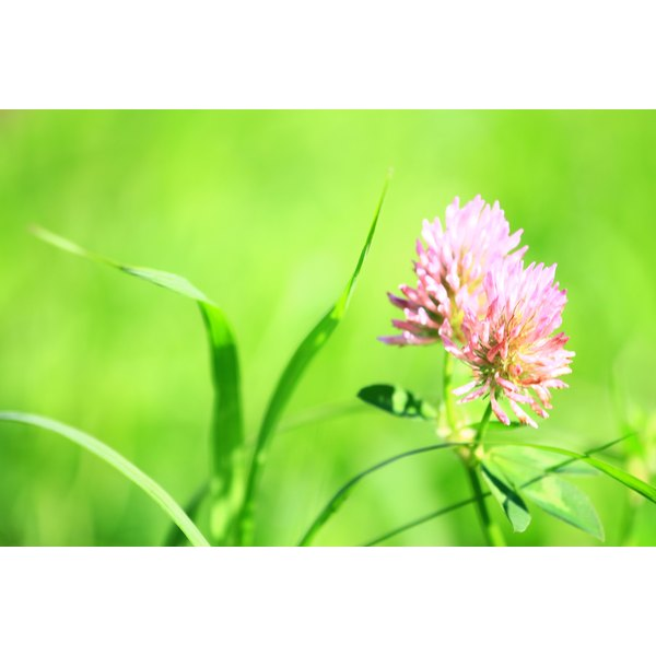 Red clover growing in a field.