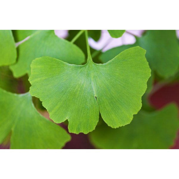 A close-up of a gingko biloba leaf.