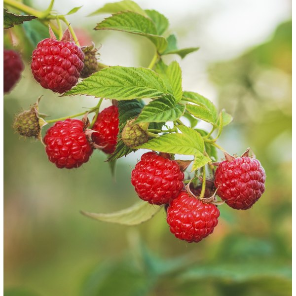 Raspberries growing on a vine.