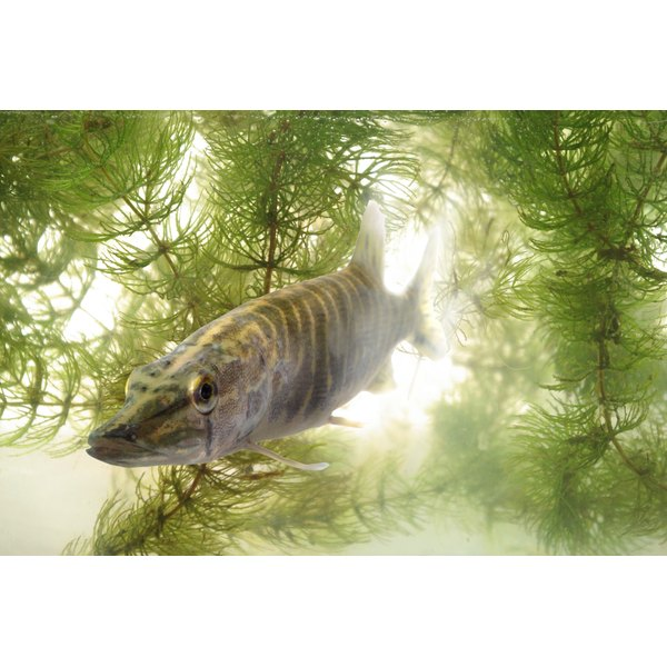 A pickerel fish swimming in the water.