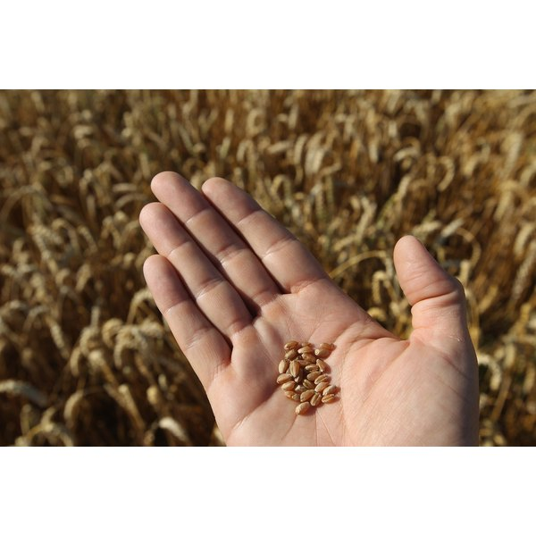 Farmer's hand holding kernals of wheat