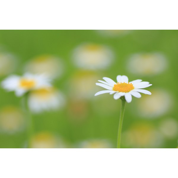 The chamomile flower.