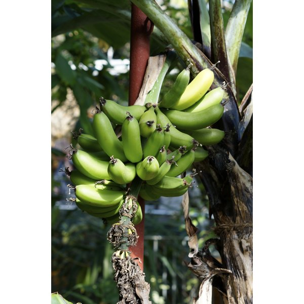 image of plantains growing in natural setting