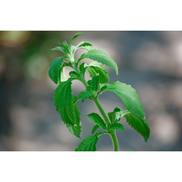 Sweet leaf also known as Stevia.
