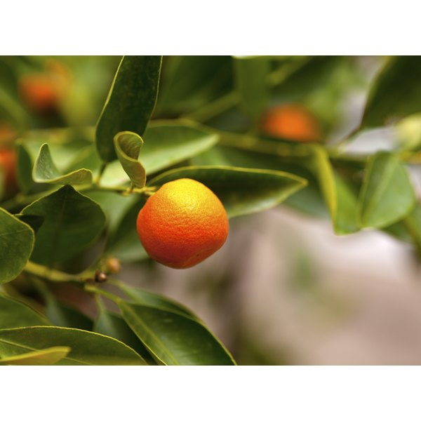 A tangerine growing on a tree branch.