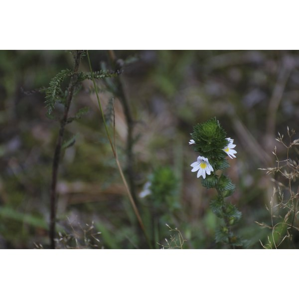 White blossoms of the eyebright herb growing in nature.
