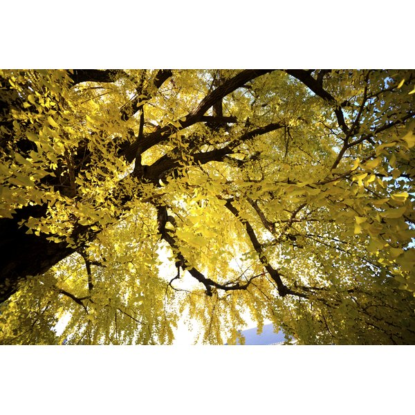 The ginkgo tree can live as long as a thousand years.