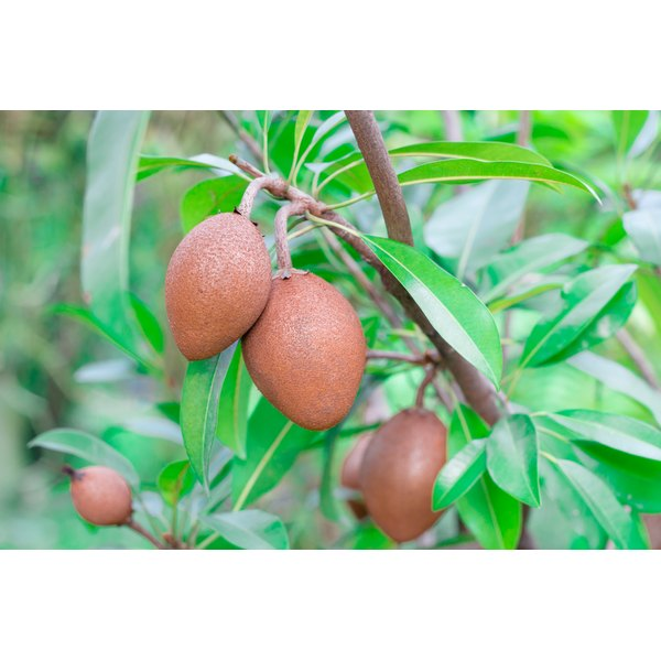 Sapodilla fruit growing from a tree.
