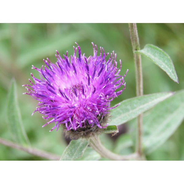 A close up of a milk thistle plant.