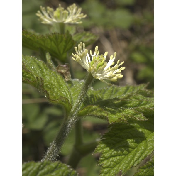 A Goldenseal plant as a flower.