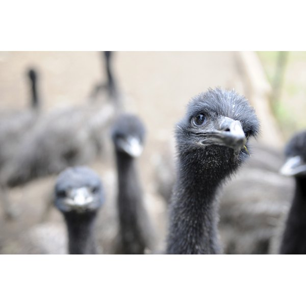 Some studies suggest that emu oil has anti-inflammatory properties.